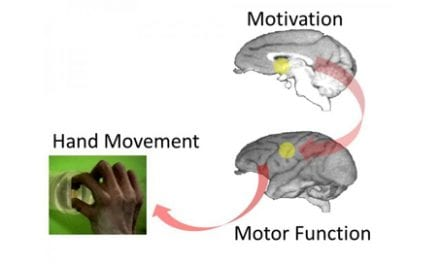 Neuroscience Evidence Suggests How Motivation Helps Promote Recovery After Spinal Cord Injury