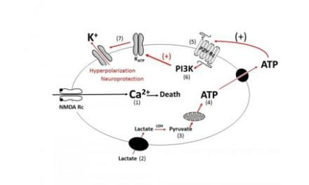 Lactate May Help Protect Neurons from Damage Post-SCI