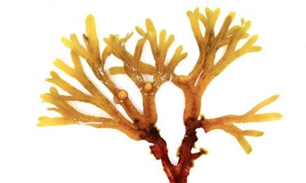 Research Touts Brown Algae as Possible CLI Amputation Prevention